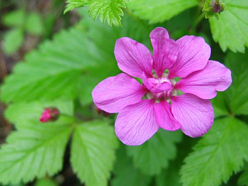 fleur du framboisier arctique
