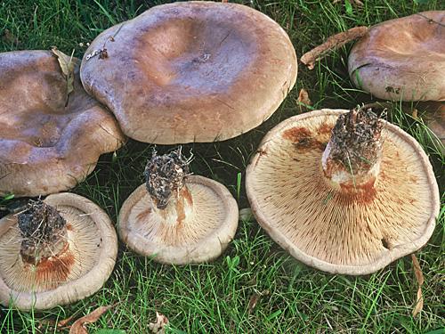 Myrkylliset Sienet Nurmikolla